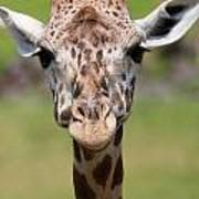 Giraffe Peek A Boo Poster Art Print
