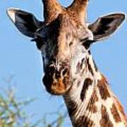 Giraffe Portrait Close-up. Safari In Serengeti. Art Print