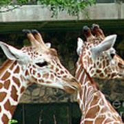 Giraffes-09023 Art Print