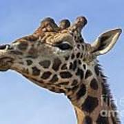 Giraffes 3 Art Print
