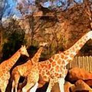 Giraffes At The Zoo Art Print