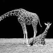 Giraffe's Art Print