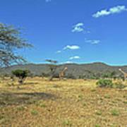 Giraffes In Samburu National Reserve Art Print