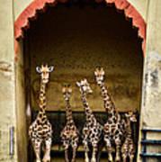 Giraffes Lineup Art Print