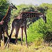 Giraffes On Savanna Eating. Safari In Serengeti Art Print