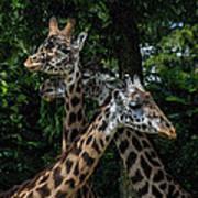 Giraffs Art Print