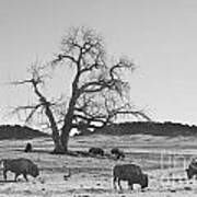 Give Me A Home Where The Buffalo Roam Bw Art Print