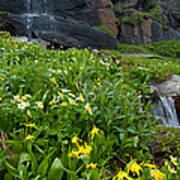 Glacier Lilies And Globeflower Beside A Mountain Stream Art Print