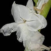 Gladiolus Past Time Art Print