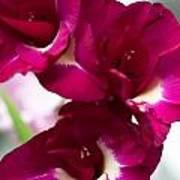 Gladiolus Priscilla. Pink Gladiolus Art Print