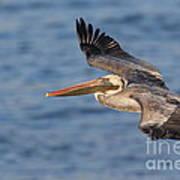 gliding by Pelican Art Print