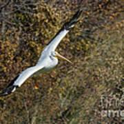 Gliding Pelican Art Print