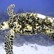 Gliding Sea Turtle Art Print