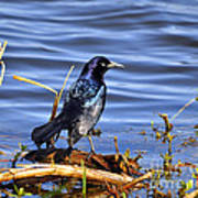 Glorious Grackle Art Print