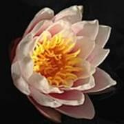 Glorious Lily Art Print