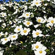 Glorious White Roses Db Art Print
