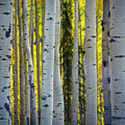 Glowing Aspens Art Print