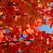 Glowing Fall Maple Colors 3 Art Print