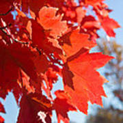 Glowing Fall Maple Colors 4 Art Print