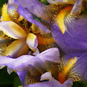 Glowing Iris' Art Print