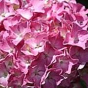 Glowing Pink Hydrangea Art Print