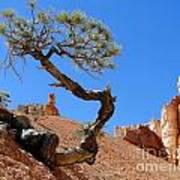 Gnarled Pine In Bryce Canyon Utah Art Print