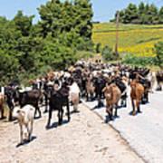 Goat Herd Art Print