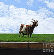 Goat On A Sod Roof In Sister Bay In Wisconsin Art Print
