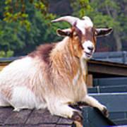 Goat On The Roof Art Print