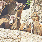 Goats On A Rock Art Print
