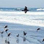 Godwits Landing On Pacific Coast Beach Art Print