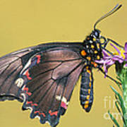 Gold Rim Swallowtail Butterfly Art Print