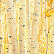 Golden Aspens Utah Art Print