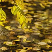 Golden Autumn Colour Foliage On Rainy Pond Art Print