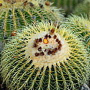 Golden Barrel Cactus Art Print