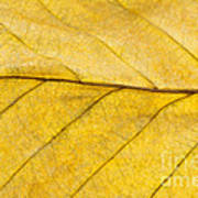 Golden Beech Leaf Art Print