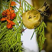 Golden Christmas Finch Art Print