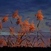 Golden Common Reeds Art Print