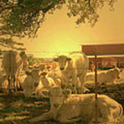 Golden Cows Art Print