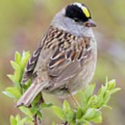 Golden-crowned Sparrow Art Print