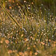 Golden Dew Drops Art Print