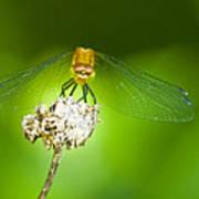Golden Dragonfly On Perch Art Print