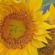 Golden Duo - Sunflowers Art Print