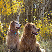 Golden Goldens - Golden Retriever Brothers - Casper Mountain - Casper Wyoming Art Print