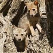 Golden Jackal Canis Aureus Cubs Art Print