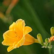Golden Lilly Art Print