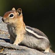 Golden-mantled Ground Squirrel Art Print