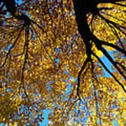 Golden Maple 9 Art Print