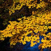 Golden Maples Art Print