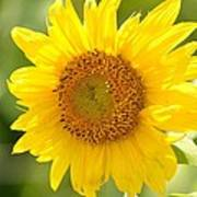 Golden Moment - Sunflower Art Print